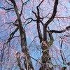 伊那谷の枝垂桜