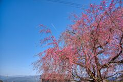 信州・桜と青空