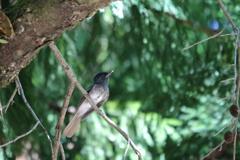サンコウチョウ幼鳥?