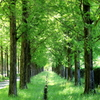 春 メタセコイア並木
