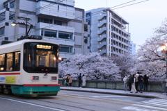 市電と桜2