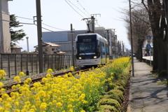 菜の花と路面電車