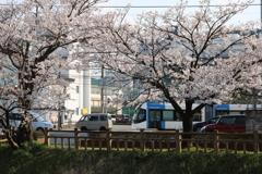 桜の中を走る