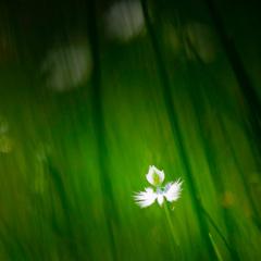 鷺草よ、飛び立て