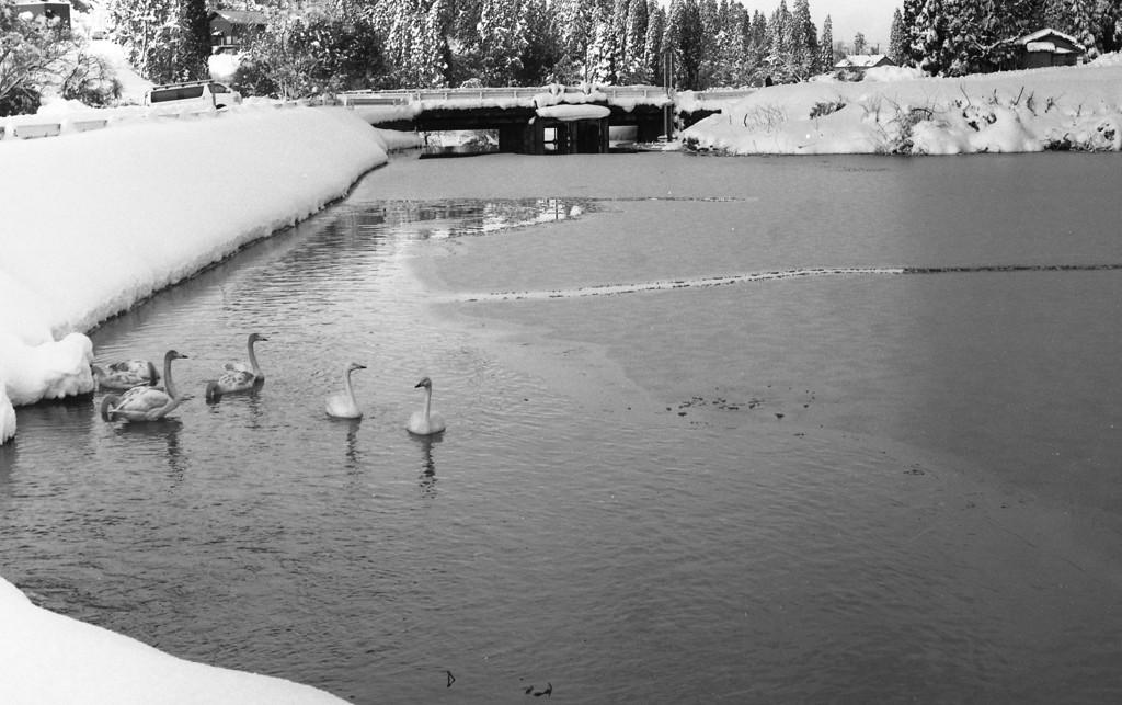 白鳥の池 No.1