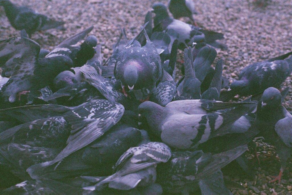 大須観音にて鳩群れる