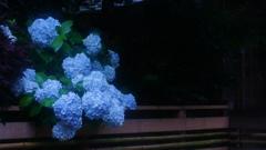 紫陽花三昧!②