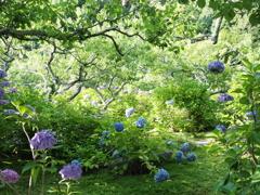あじさい寺 本光寺に広がる紫陽花