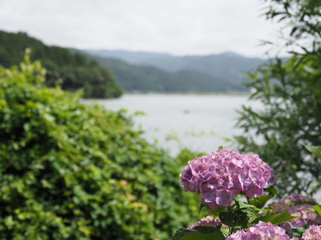 余呉湖の紫陽花 3