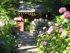 あじさい寺 本光寺の紫陽花
