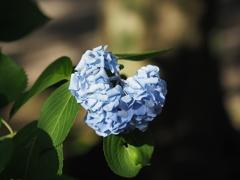 あじさい寺 本光寺のハート型の紫陽花