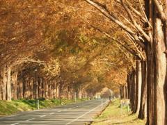 滋賀県 メタセコイアの並木