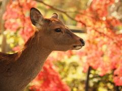 奈良公園の鹿と紅葉