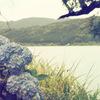 余呉湖の紫陽花