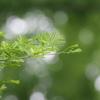 新緑のメタセコイアの並木 3