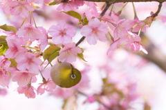 桜とメジロ 4