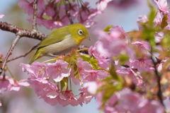 桜とメジロ 3