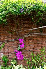 レンガの壁にランの華