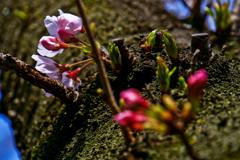 桜(2020年)