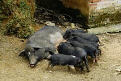 ベトナム・サパの豚さん