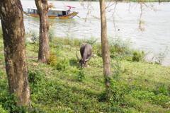 ベトナム/・フエの牛