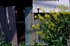 波板と黄色い花