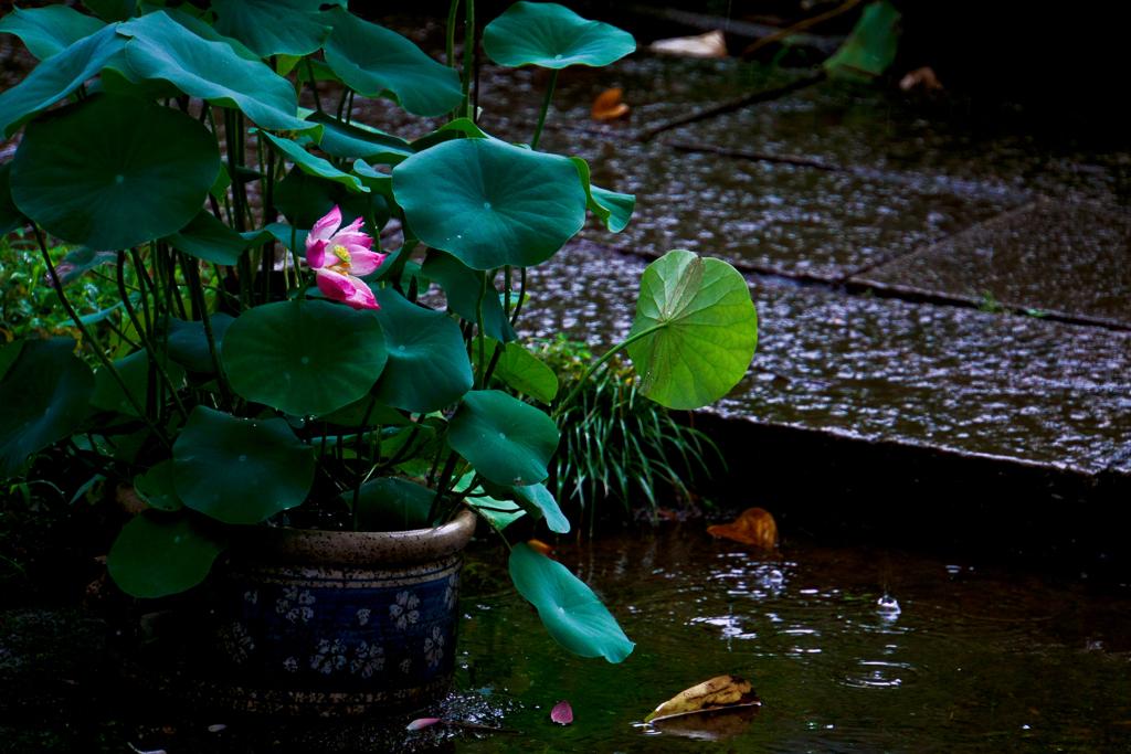 雨の日の蓮