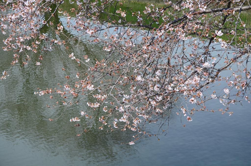咲き始めました 肘曲がり池
