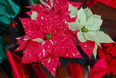 温室の花 ポインセチア  ①