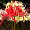 ♬赤い花なら曼珠沙華・・・♬