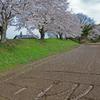 早くも散り始めた桜