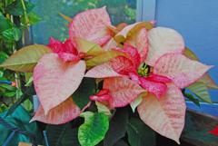 温室の花 ポインセチア  ②