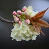 御衣黄桜 ②蕾も付けた一枝アップ