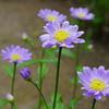 庭の花 みやこわすれ ②