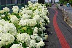 道路端の白い紫陽花
