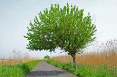 枯れ葦と新緑 ②