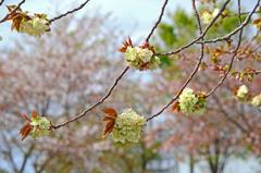 御衣黄桜 ①それぞれの枝先に
