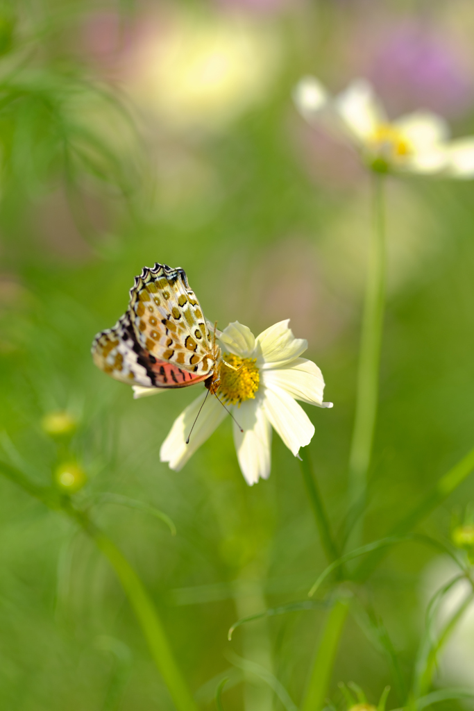 コスモス畑に蝶が沢山