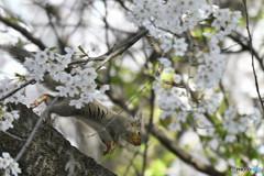 櫻咲いたよ!