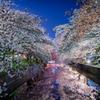 土浦の桜祭り