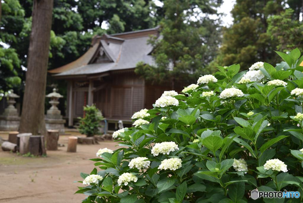 紫陽花と稲荷神社