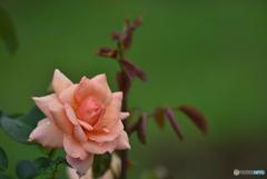 梅雨時期のバラ
