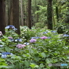 森林の紫陽花 ③