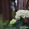 森林の紫陽花 ④