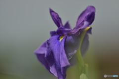 花菖蒲 紫