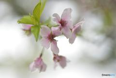 桜、終わる頃 ①