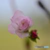 私は桜、でも気持ちはバラ