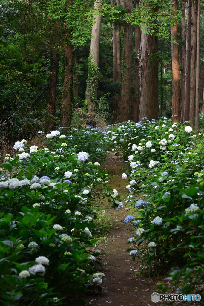 森林の紫陽花 ②