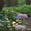 森林の紫陽花 ①