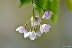 桜、終わる頃  ②